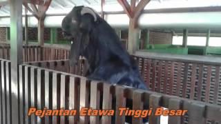 getlinkyoutube.com-Ternak Kambing Etawa Model Kandang  Untung Berjuta Juta Rupaih
