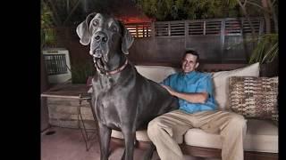 getlinkyoutube.com-El Perro más Grande del Mundo  , The Greatest Dog World