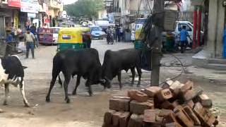 getlinkyoutube.com-indian bull fight india road Sgujjar nathupur se