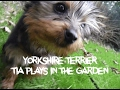 Yorkshire Terrier playing in the garden