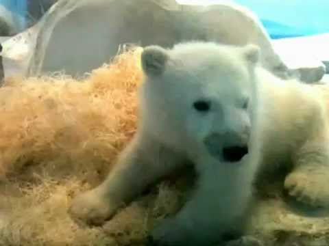 Sleepy polar bear cub