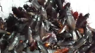 getlinkyoutube.com-ゴキブリ700匹映像【クロゴキブリ大量】Japanese cockroach 制作ver.