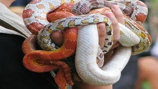 THESE SNAKES ARE A HANDFUL!!! Brian Barczyk