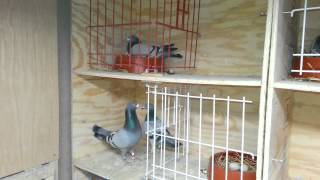 getlinkyoutube.com-2014 Racing Pigeons- Breeders