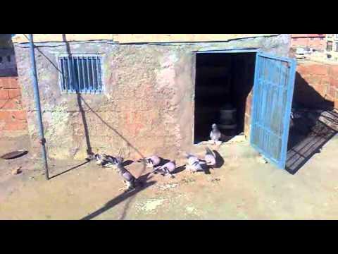 siverek en eski güvercinleri tarih 1998