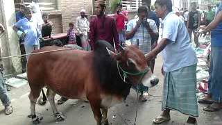 getlinkyoutube.com-Pagla Goru Qurbani