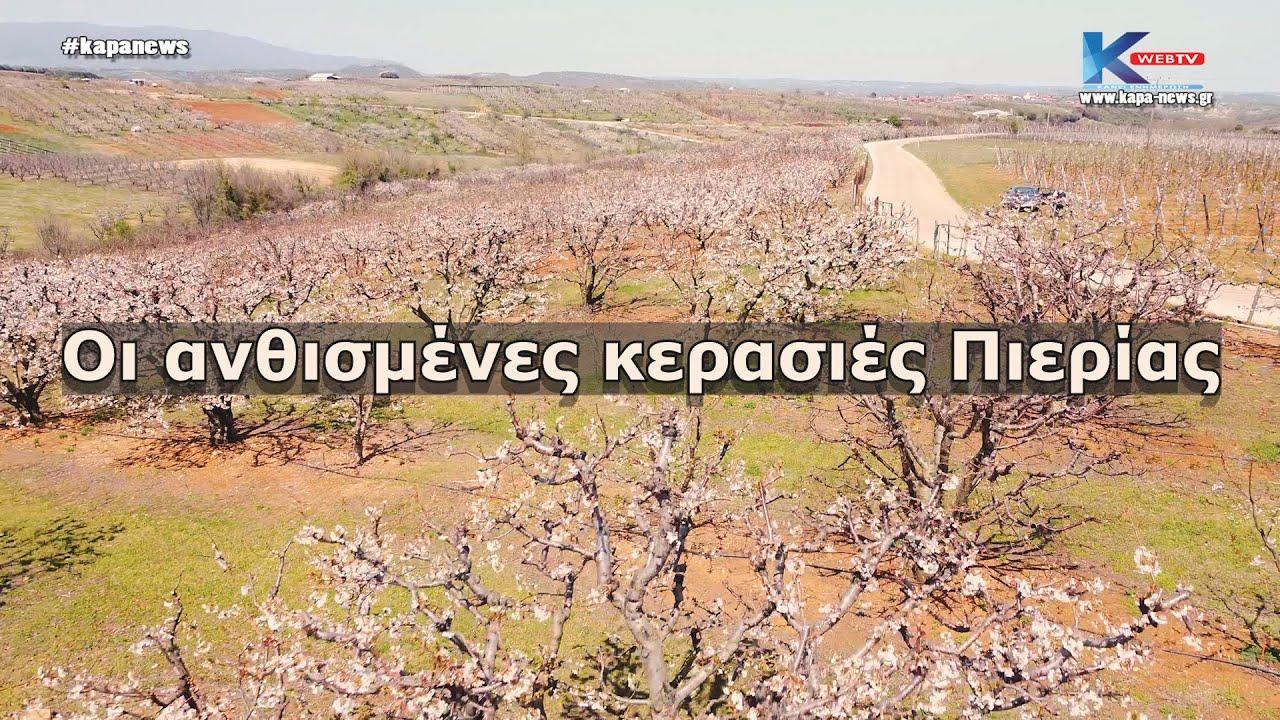 Βίντεο με τις ανθισμένες κερασιές της Πιερίας απο drone