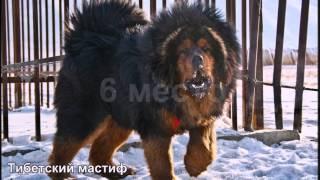 getlinkyoutube.com-Самые большие породы собак