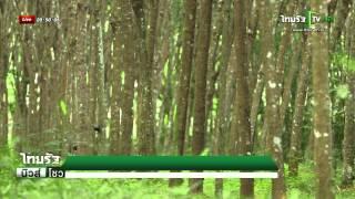 getlinkyoutube.com-ปลูกไม้ป่าในสวนยางแก้โรครากขาว