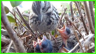 getlinkyoutube.com-9 DAYS IN THE NEST - Baby Birds fom Egg to Fledgling a Compilation