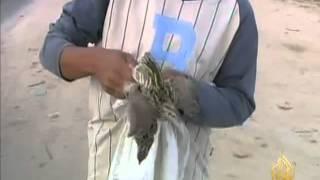 getlinkyoutube.com-انتشار ظاهرة صيد طائر السمان في غزة