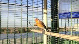 getlinkyoutube.com-CANTO INCARDELLATO 1-2 HYBRID chardonneret mulet goldfinch stieglitz jilguero pintassilgo cardellino