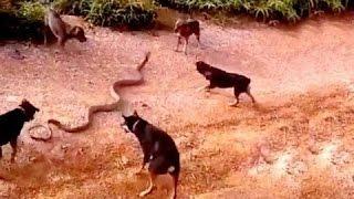 getlinkyoutube.com-5 dogs attack a King cobra - dog vs cobra - dog kills snake Wild Nature