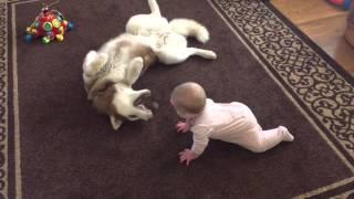 getlinkyoutube.com-Un husky joue doucement avec un bébé