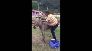 getlinkyoutube.com-vídeo de risa como montar un burro