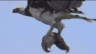 getlinkyoutube.com-طائر عقاب يفترس حيوان الكسلان Eagle attacking Sloth