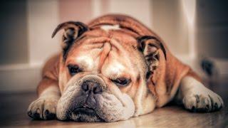 getlinkyoutube.com-รวมคลิปหมาฮาๆ หมาตลกๆ หมาน่ารักๆ หมาบลูด็อก  Best Funny Bulldogs Compilation Video