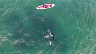Orca and Kayaker Encounter Caught on Drone Video width=