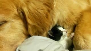 getlinkyoutube.com-ゴールデンレトリーバーの懐で眠りにつく子猫ちゃん / Kitten sleep along with the Golden Retriever.