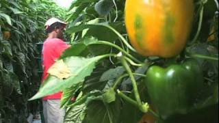 getlinkyoutube.com-Greenhouse Vegetable Harvest Video