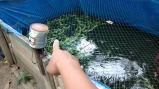 getlinkyoutube.com-Ternak Ikan Di Lahan Sempit