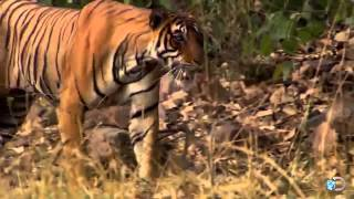 getlinkyoutube.com-دب اسود قرر مواجهة النمور انظر ماذا حدث HD