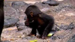 getlinkyoutube.com-Bonobo Kabibi Celebrates 1st Birthday - Cincinnati Zoo