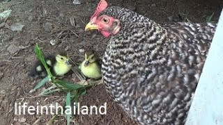 getlinkyoutube.com-Momma chicken and her newly hatched baby ducks.