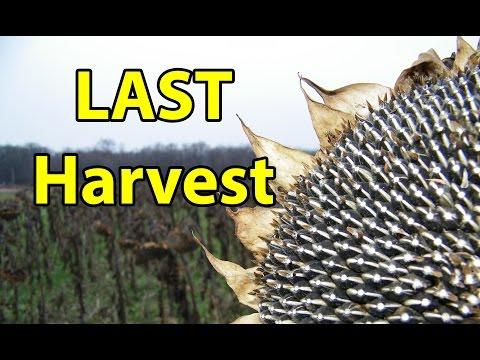 Last Field Garden Harvest of 12 Million Sunflower Seeds