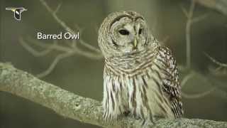 getlinkyoutube.com-The Distinctive Calls of Owls: A Sampler