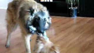 getlinkyoutube.com-Australian terrier vs belgian tervueren