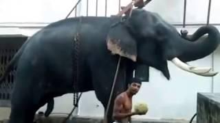 getlinkyoutube.com-THECHIKOTTUKAVU DEVIDASAN getting ready for 2016/ kerala elephant