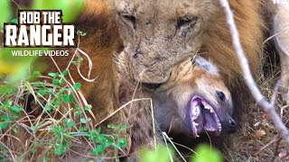 getlinkyoutube.com-Lions Kill And Eat Hyena - Death At the Hyena Den (4K Video)