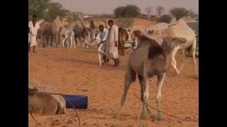 getlinkyoutube.com-لبن الإبل عند الموريتانيين/ مختار بابتاح