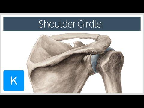 Shoulder (Pectoral) Girdle - Muscles and Movements - Human Anatomy  Kenhub
