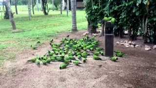 Wild Nanday Conures