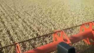 12T/Ha Claydon drilled second wheat on the Claydon farm 2014