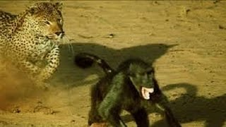 getlinkyoutube.com-Leopard vs Wild Dogs vs Lion vs Big Baboon - Wild Animal Attacks #9