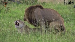 WILDlife: Lions Mating In The African Savanna (4K Video)