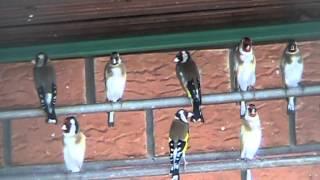 getlinkyoutube.com-Goldfinches, massingers of the springtime