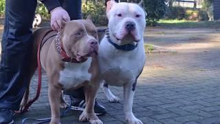 My xxl American Bully Pitbulls Cobra and Bailey !!!