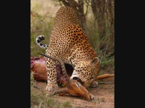 Videos Related To 'leopard Vs Hyena. Leopard Kills Hyena'