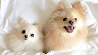 getlinkyoutube.com-My Micro / Teacup Pomeranians & Bahamas Vacation Cruise