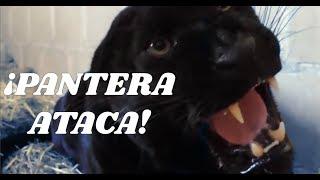 getlinkyoutube.com-pantera negra atacando