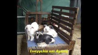 getlinkyoutube.com-Εύκολο άρμεγμα κατσίκας