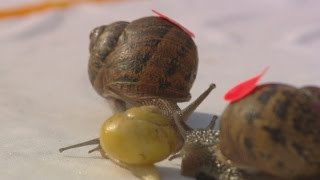 WHAT THE SHELL? World Snail Racing Championships 2014