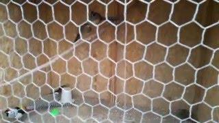 getlinkyoutube.com-Pheasant aviary