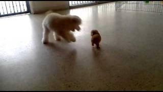 getlinkyoutube.com-tea cup vs toy poodle~~