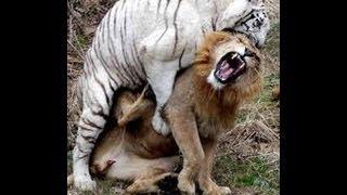 getlinkyoutube.com-Brutal Tiger fighting with lion