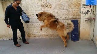 تحدي وجها لوجه بيني وبين الكلب الراعي القوقازي تايجر ولاكنه تمكن مني وعضني مع جمال العمواسي